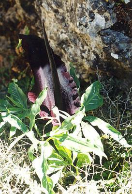 Dracungulus