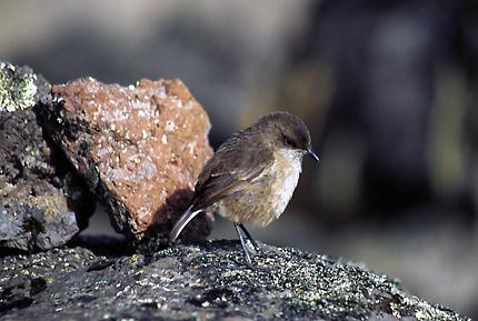 smallbird