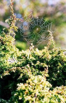 spindelnsnat