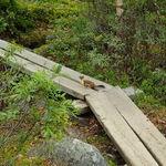 En hermelin på spången vid Abisko