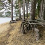 Styltiga tallrötter på Östa-stranden