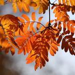 Färgglada rönnblad i Botaniska trädgården